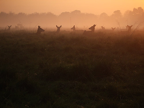 Deer at sunset