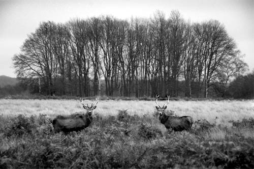 Red deer stag rut