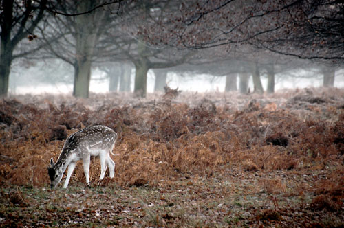 Fallow deer feeding in autumn